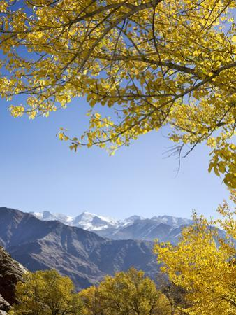 Aspen Trees (Populous Spinos) and Mountain by JoSon