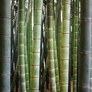 Bamboo 1 by JoSon