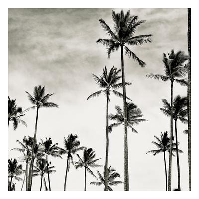 Coconut Palms I 'Cocos nucifera', Kaunakakai, Molokai