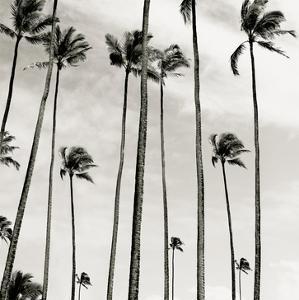 Coconut Palms II 'Cocos nucifera', Kaunakakai, Molokai by JoSon