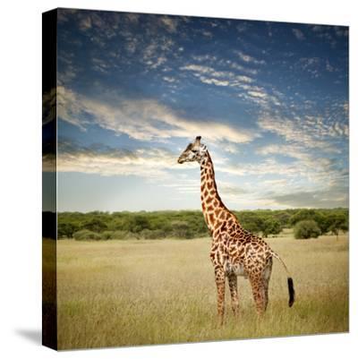 Giraffe at Serenget in National Park,Tanzania