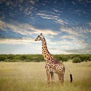 Giraffe at Serenget in National Park,Tanzania by JoSon
