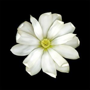 Magnolia by JoSon