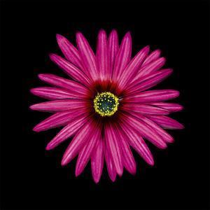 Pink Daisy by JoSon