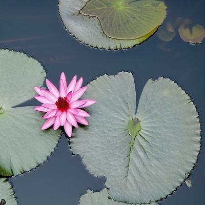 Water Lily on Hoan Kiem Lake, Hanoi, Vietnam