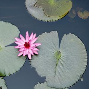 Water Lily on Hoan Kiem Lake, Hanoi, Vietnam by JoSon