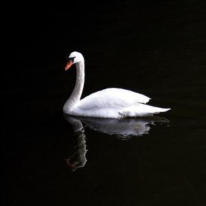 White Swan by Josselin Dupont