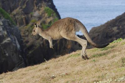 Eastern Grey Kangaroo (Macropus Giganteus) Jumping, Queensland, Australia