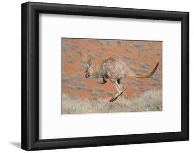 Hill Wallaroo (Macropus Robustus) Jumping, Flinders Ranges National Park, South Australia, Australi