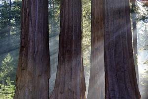 Trunks Of Giant Sequoia Trees (Sequoiadendron Giganteum) Sequoia National Park, California, USA by Jouan Rius
