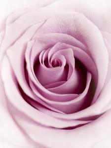 Pink Rose by Joy Atkinson