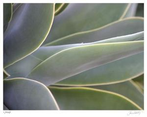 Agave IV by Joy Doherty