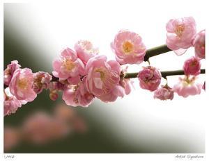 Cherry Blossoms I by Joy Doherty