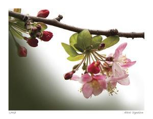 Cherry Blossoms III by Joy Doherty
