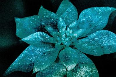 Turquoise Poinsettia For My Darling