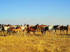 Big Herd of Horses in Crimean Prairie at Sunset by joyfull