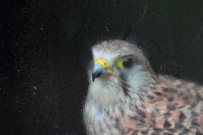 A Female European Kestrel, Falco Tinnunculus, Rescued After An Electric Shock