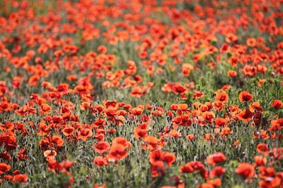 A Field Of Red Poppy, Papaver Rhoeas