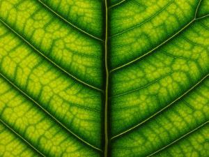 Backlit Close Up of a Fig Leaf, with Visible Veins by Jozsef Szentpeteri