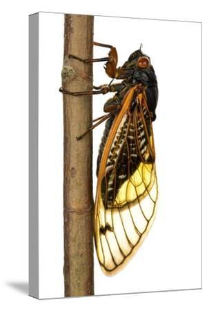 13-Year Periodical Cicada (Magicicada Tredecim) Oxford, Mississippi, USA