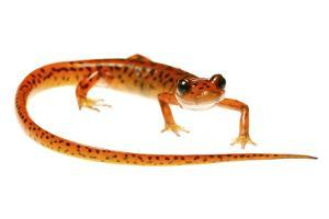 Cave Salamander (Eurycea Lucifuga) Nachez Trace Parkway, Mississippi, USA by Jp Lawrence
