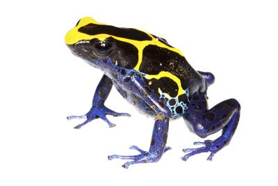 Dyeing Poison Frog (Dendrobates Tinctorius) The Kaw Mountains