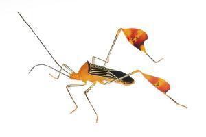 Flag-Footed Bug (Anisocelis Flavolineata) Gamboa, Panama Meetyourneighbours. Net Project by Jp Lawrence