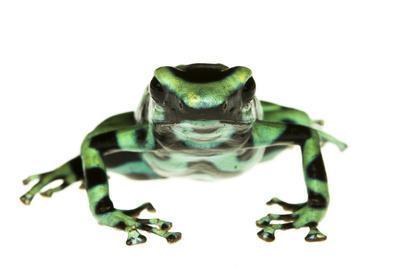 Green And Black Poison Frog (Dendrobates Auratus) Isla Pastores