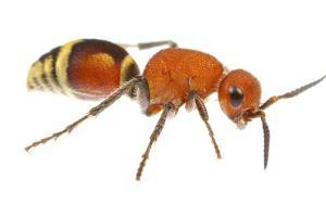Velvet Ant (Dasymutilla Quadriguttata) Oxford, Mississippi, USA. Meetyourneighbours. Net Project by Jp Lawrence