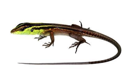 Whiptail Lizard (Kentropyx Calcarata) Mahury, French Guiana. Meetyourneighbours.Net Project