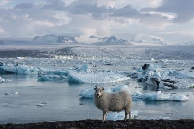 Jškulsarlon - Glacier Lagoon, Morning Light, Sheep-Catharina Lux-Photographic Print