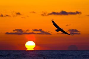 Bald Eagle (Haliaeetus Leucocephalus) In Flight, Silhouetted At Sunset, Haines, Alaska, March by Juan Carlos Munoz