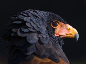 Bateleur Eagle (Terathopius Ecaudatus) Head Portrait, Captive, Occurs in Africa by Juan Carlos Munoz
