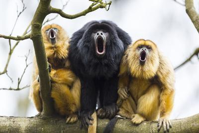 Black Howler Monkeys (Alouatta Caraya) Male and Two Females Calling from Tree