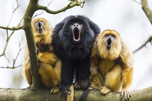 Black Howler Monkeys (Alouatta Caraya) Male and Two Females Calling from Tree by Juan Carlos Munoz