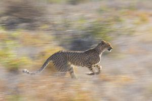 Cheetah (Acinonyx Jubatus) Running, Kalahari Desert, Botswana by Juan Carlos Munoz