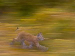 Eurasian Lynx (Lynx Lynx), Finland by Juan Carlos Munoz
