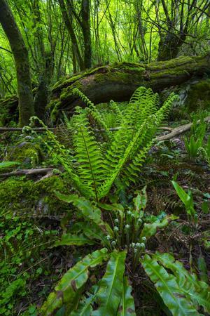 Ferns Growing Near Fallen Tree in Chestnut Forest, Onati, Gipuzkoa, Basque Country, Spain, Europe