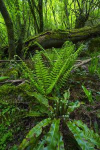 Ferns Growing Near Fallen Tree in Chestnut Forest, Onati, Gipuzkoa, Basque Country, Spain, Europe by Juan Carlos Munoz