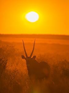 Gemsbok (Oryx Gazella) Silhouetted At Dawn, Kalahari Desert, Botswana by Juan Carlos Munoz