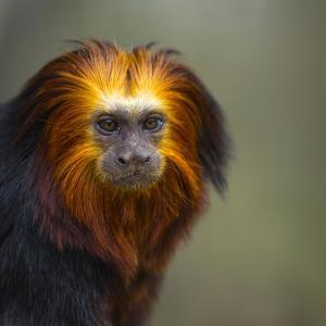 Golden-Headed Lion Tamarin (Leontopithecus Chrysomelas) Captive Portrait by Juan Carlos Munoz