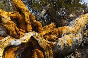 Great Basin Bristlecone Pine (Pinus Longaeva) Fallen Ancient Tree, White Mountains, California by Juan Carlos Munoz