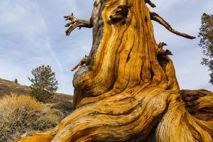 Great Basin Bristlecone Pine (Pinus Longaeva) Trunk Of Ancient Tree by Juan Carlos Munoz