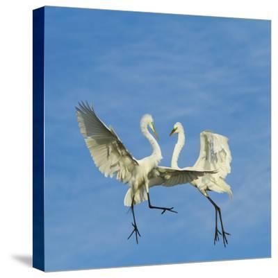 Great Egrets (Ardea Alba) Territorial Dispute Above Nest Colony