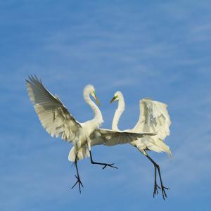 Great Egrets (Ardea Alba) Territorial Dispute Above Nest Colony by Juan Carlos Munoz