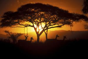 Herd Of Impala (Aepyceros Melampus) Silhouetted At Sunset, Ngorongoro Conservation Area, Tanzania by Juan Carlos Munoz