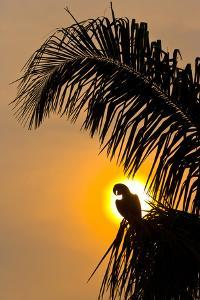 Hyacinth Macaw (Anodorhynchus Hyacinthinus) Calling, Silhouetted Against The Sun, Pantanal by Juan Carlos Munoz
