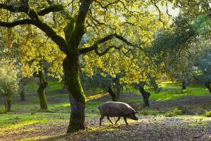 Iberian Black Pig Foraging In Oak Woodland, Sierra De Aracena Natural Park, Huelva by Juan Carlos Munoz