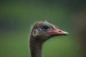 Ostrich (Struthio Camelus) Captive, Cabarceno Park, Cantabria, Spain, June by Juan Carlos Munoz