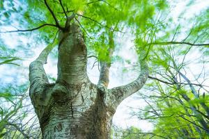 Pollarded European - Common Beech Tree (Fagus Sylvatica) in Beech Forest by Juan Carlos Munoz